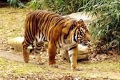 Other Extinct Subspecies of Tiger: