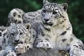 older cub and its mum