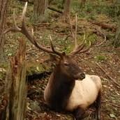 RosseVelt Elk