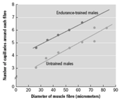 Capitalisation of muscle fibers