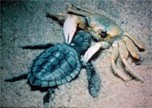 A turtle eating a ghost crab.