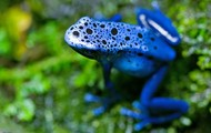 A blue frog.