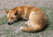 A dingo is a austrailain native anmial