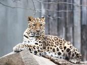 Images of the Amur Leopard