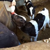 Bottle Fed Calves