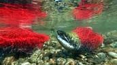do not kill all the salmon
