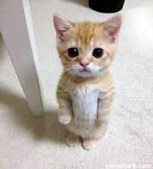Munchkin Kitten Standing