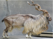 What is a Markhor