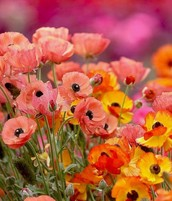 Poppies.... It's time to plant and blossom!