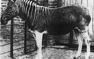 The only quagga held in a zoo in London