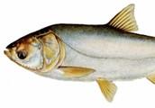 idenifing big head carp