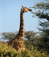 Giraffe with a long neck