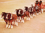 Anhueser busch  Clydesdales