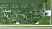 The Corn Maze at Shryock's Callaway Farms