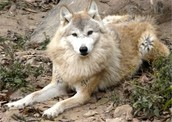 How do Tibetan Wolves obtain their food?