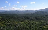 Palm Oil Platation