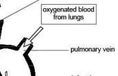 pulminary veins