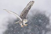 Special features about snowy owls