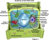 more on vacuoles