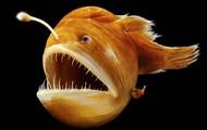 Humpback Anglerfish