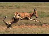 Cheetah taking its prey the Antelope