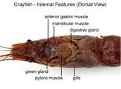 Internal Veiw of Crayfish