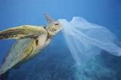 Sea Turtle mistakes plastic bag for jellyfish.