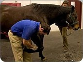 In this picture the vet is checking the horses legs. This horse is more than likely a jumper. These horses get their legs checked by Vets or just their owners before they go to competition.