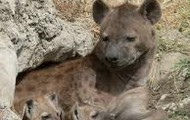 Hyena Mother and her Pups
