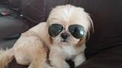 בתמונה- כלב השיצו של איתי סבג