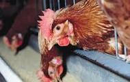 Non Free Range Chickens