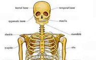 The Effects on the Bones