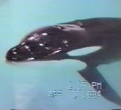 Junior- a killer whale