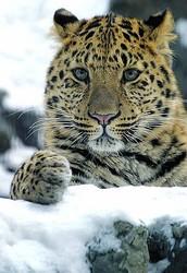 Facts about the Amur leopard