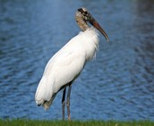Where is the Wood Stork Found?