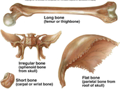 Bones can be classified according to shape and structure...