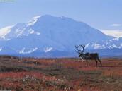 Caribou in the Tundra biome