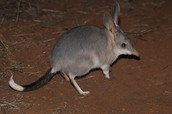 Bilby in the wild