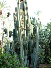 This is the cereus flower it grows on cactus.