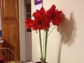 Our class amaryllis from Jenevieve bloomed over winter break