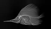 X Ray Image of a fish