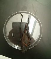 Grasshopper - ventral view