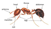 The body of a Ant
