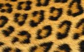 Amur leopard fur