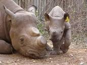 Rhino with a half cut horn