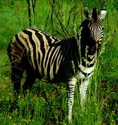 Zebra Camouflage