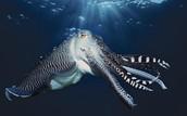 wild england cuttlefish
