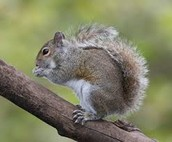 Desciptions of an Eastern Grey Squirrel