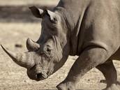 wise rhino