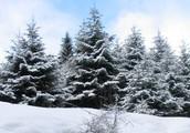 Dwarf Trees.